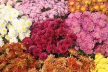 Chrysanthemum Show 1