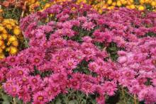 Chrysanthemum Show 9